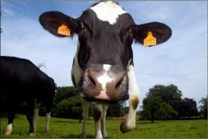 Kráva na poli ©EC Audiovisual Service