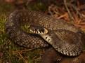 Hada odchytil herpetolog Tomáš Bublík